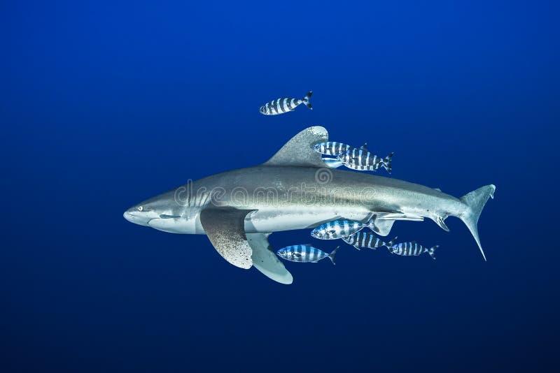 Ozeanischer whitetip Haifisch mit Versuchsfischen lizenzfreie stockbilder
