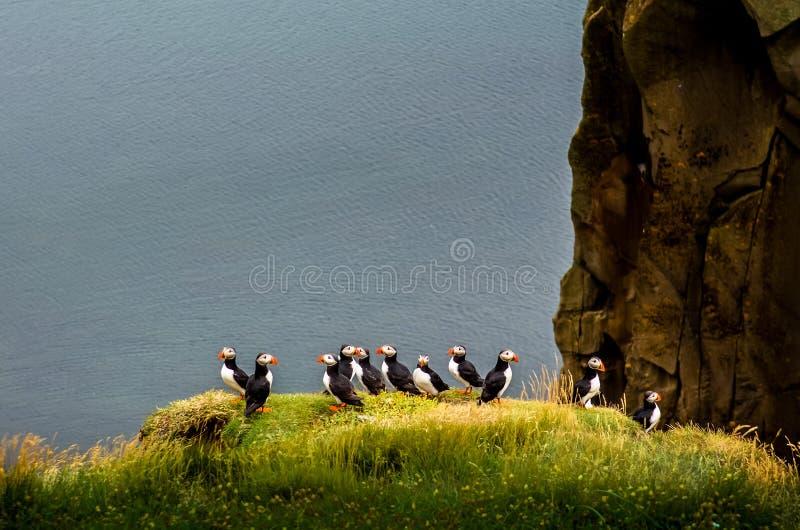 Ozeanküstenlinienlandschaft mit Menge von den Papageientauchern, die auf einer Klippe, Island stehen stockfotografie