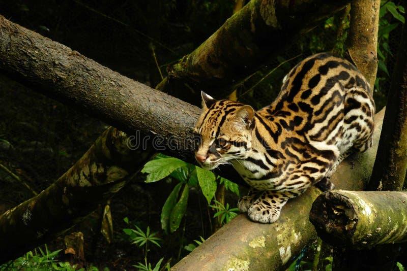 Ozelot che si siede su un ramo con una pelliccia dorata che guarda nella distanza fotografia stock
