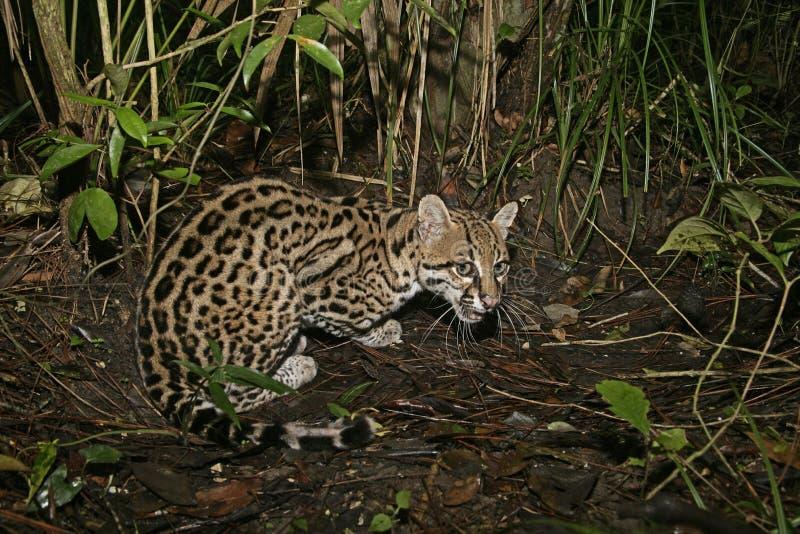 Ozelot Leopardus pardalis royaltyfri foto