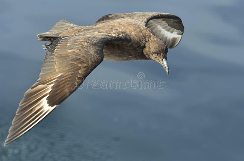 Págalo del Catharacta del gran págalo en vuelo fotos de archivo