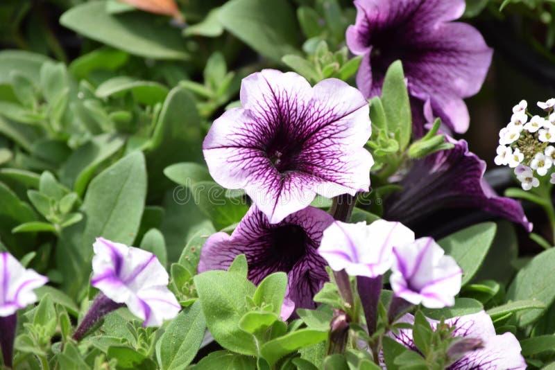 Págiana inteira do crescimento de flores roxo do petúnia fotos de stock