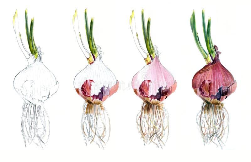 A página mostra como tirando o esboço da aquarela das cebolas vermelhas, tire etapas tutoriais ilustração stock