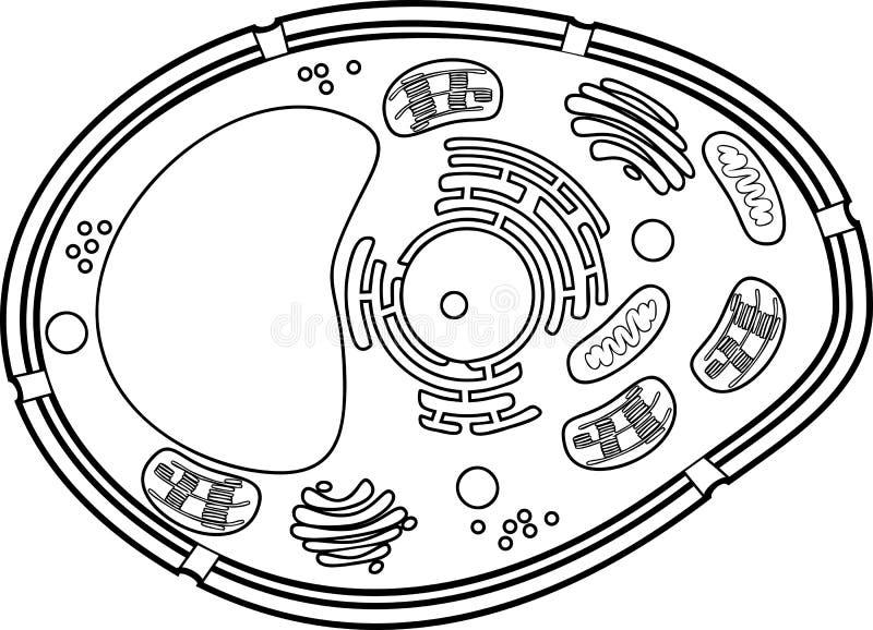 Página Que Colorea Estructura De Célula De La Planta