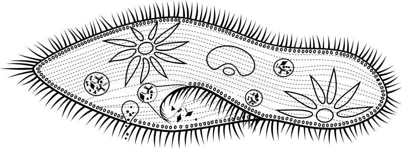 Página que colorea Estructura del caudatum del Paramecium stock de ilustración