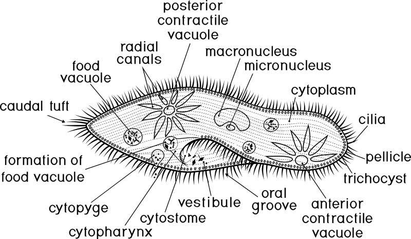 Página que colorea Estructura del caudatum del Paramecium con títulos libre illustration