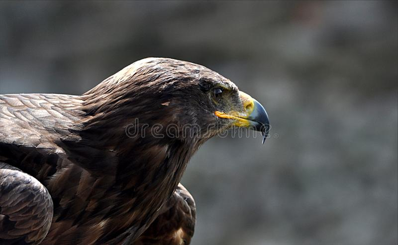 Pájaro - águila fotos de archivo