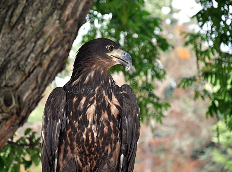 Pájaro - águila imagenes de archivo