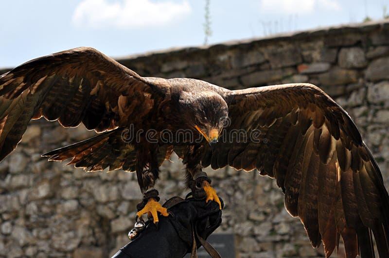 Pájaro - águila foto de archivo libre de regalías