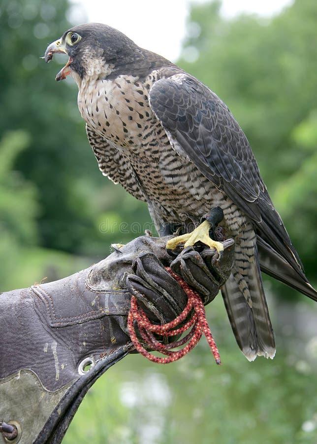 Pájaro 8 de la caza foto de archivo libre de regalías
