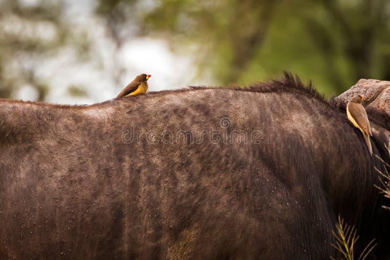pájaro africano Amarillo-cargado en cuenta del oxpecker que se encarama en el búfalo infestado señal en Serengeti, África del cab fotografía de archivo