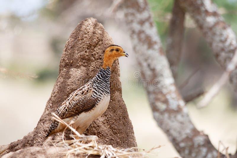 Pájaro africano: Coqui Francolin fotos de archivo