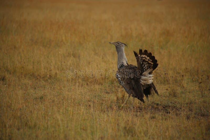 Pájaro africano de la avutarda de Kori imágenes de archivo libres de regalías