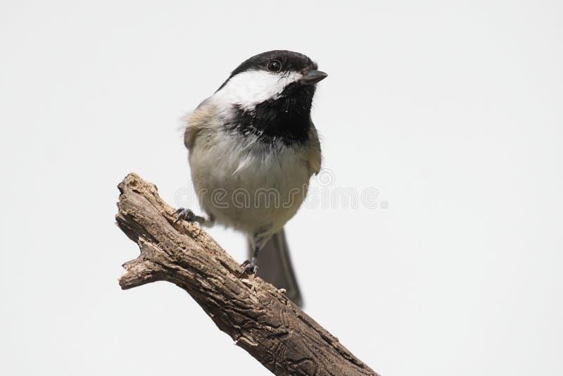 Pájaro aislado en un tocón foto de archivo libre de regalías