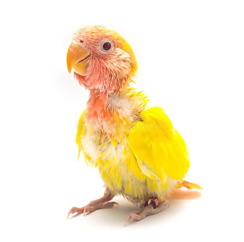 Pájaro amarillo del amor del bebé imagen de archivo