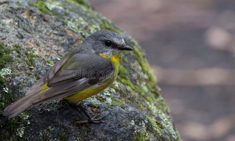 Pájaro amarillo del este del natural de Robin Australian imagen de archivo libre de regalías
