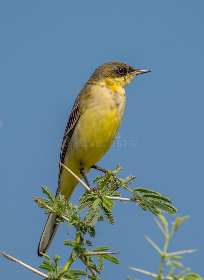 Pájaro amarillo del Wagtail fotos de archivo libres de regalías