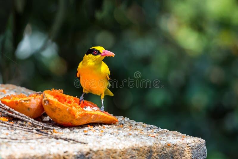 Pájaro amarillo que come la papaya foto de archivo