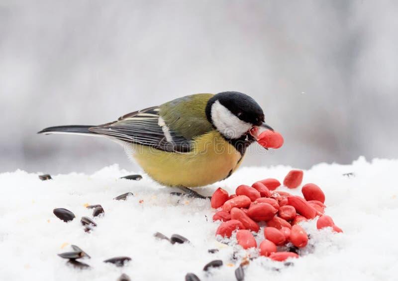 Pájaro amarillo rechoncho que come las semillas y las nueces en la nieve imagen de archivo