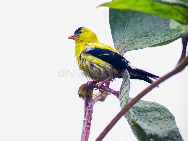 Pájaro americano amarillo del jilguero encaramado en una planta verde foto de archivo libre de regalías