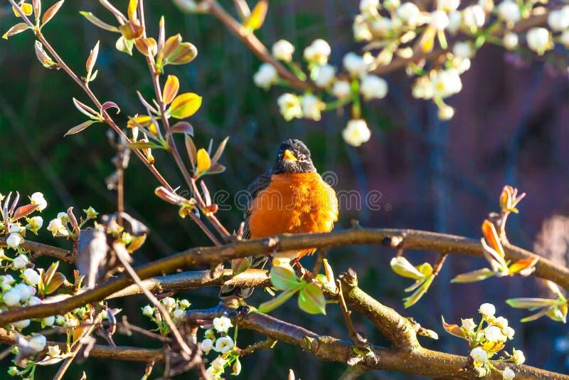 Pájaro americano del petirrojo en un árbol en la primavera fotos de archivo