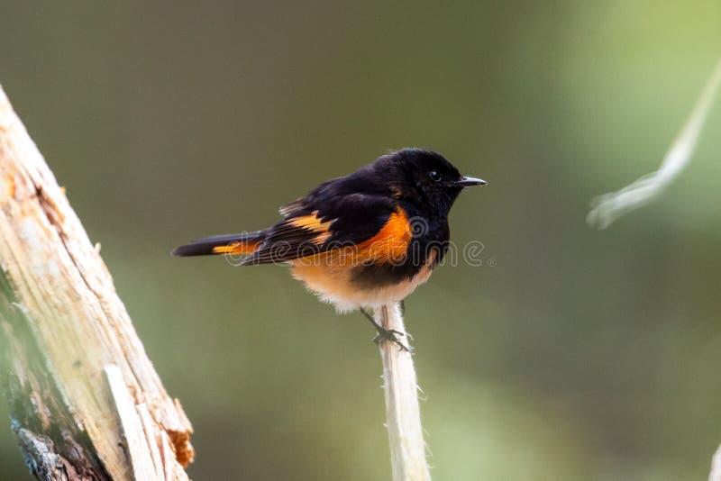 Pájaro americano del redstart en el bosque foto de archivo libre de regalías