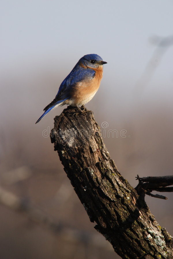 Pájaro azul del este fotos de archivo