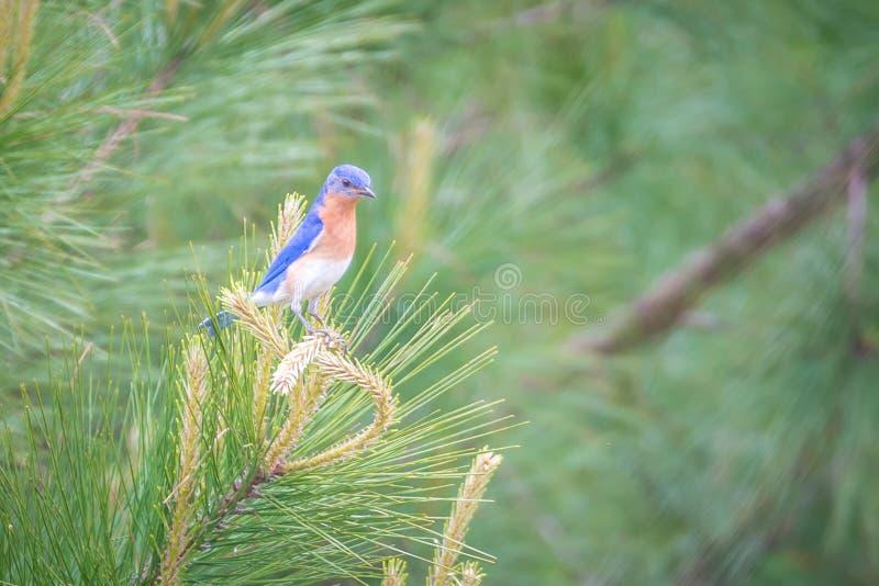 Pájaro azul del este en el salvaje en Carolina del Sur foto de archivo libre de regalías