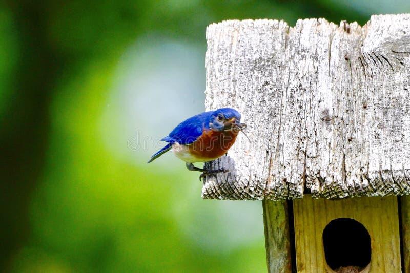 Pájaro azul del este masculino #4 foto de archivo libre de regalías