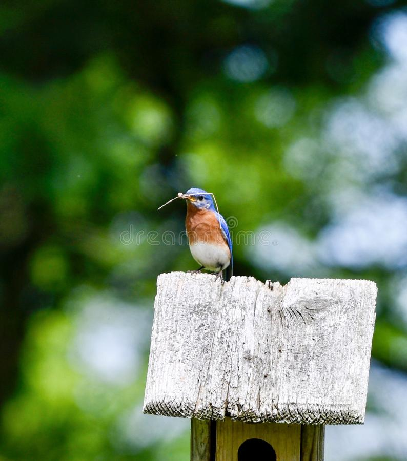 Pájaro azul del este masculino #3 imagenes de archivo