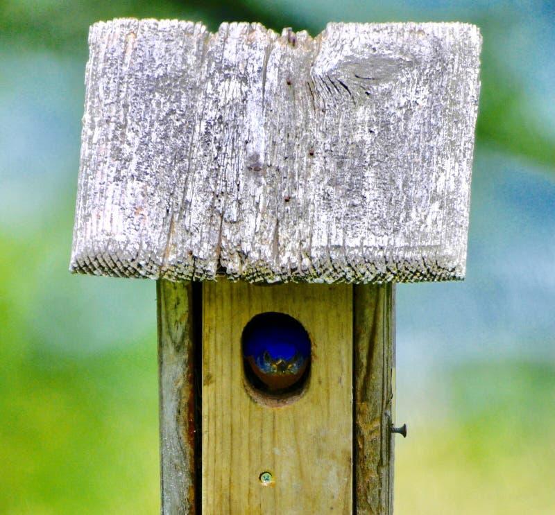 Pájaro azul del este masculino #5 fotos de archivo