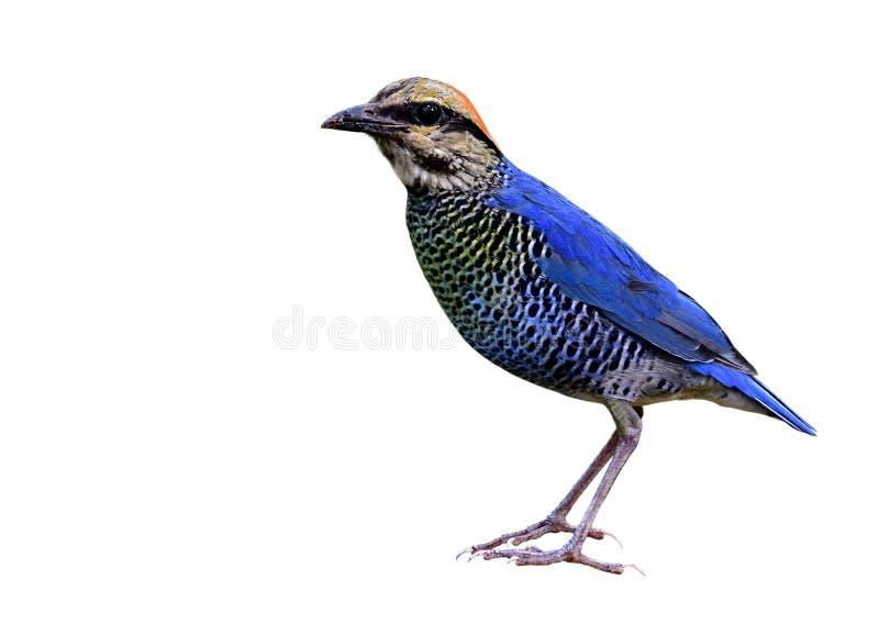 Pájaro azul hermoso con el vientre de la raya y de la cabeza la situación roja del traight completamente aislado en el fondo blan fotografía de archivo