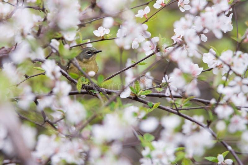 Pájaro azul Negro-throated femenino de la curruca en Cherry Blossoms fotos de archivo libres de regalías