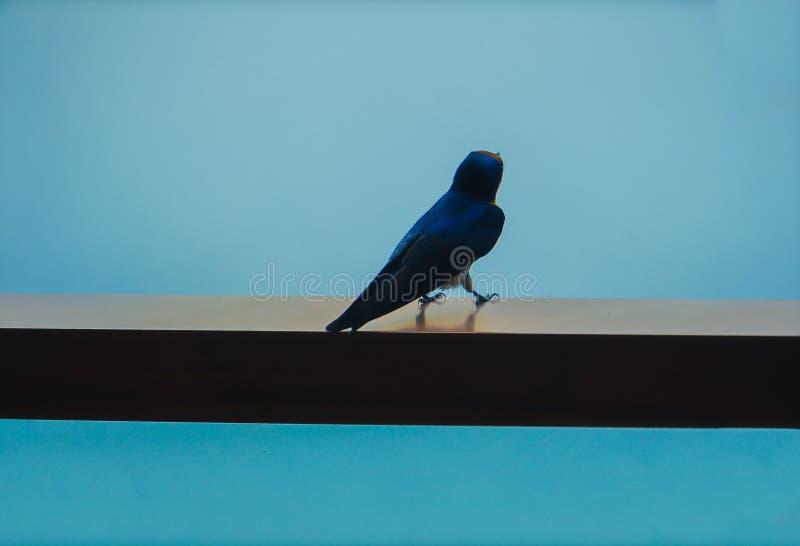 P?jaro azul que se sienta en el balc?n foto de archivo
