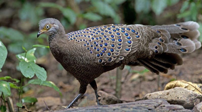 Pájaro, bicalcaratum de Grey Peacock-Pheasant Polyplectron imagen de archivo libre de regalías