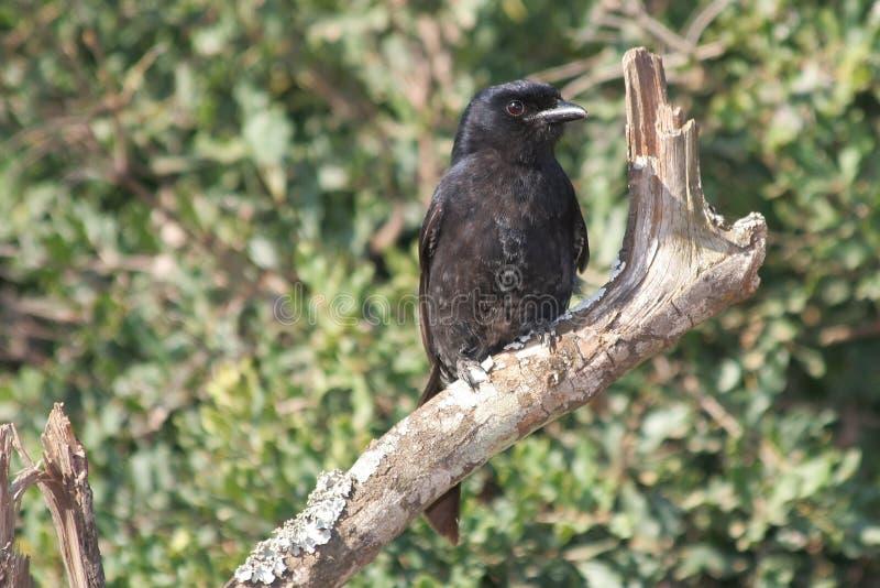 Pájaro bifurcado del Drongo de la cola fotos de archivo libres de regalías