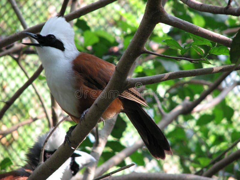pájaro Blanco-con cresta del laughingthrush foto de archivo libre de regalías