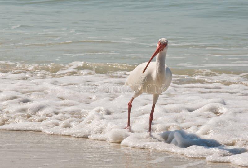 pájaro blanco de Ibis fotos de archivo