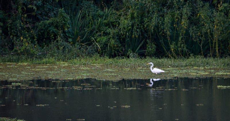 P?jaro blanco de la fauna en los ?rboles del verde del lago y animal de la naturaleza del aire libre de la hierba foto de archivo
