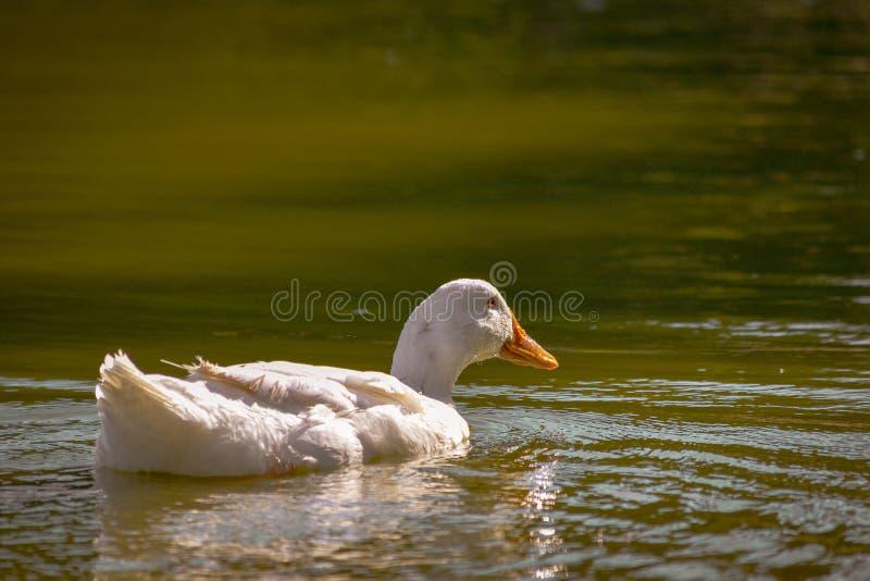 Pájaro blanco del ganso de la fauna en la calma de la natación del lago y relajar el fondo de la naturaleza del ambiente fotografía de archivo libre de regalías