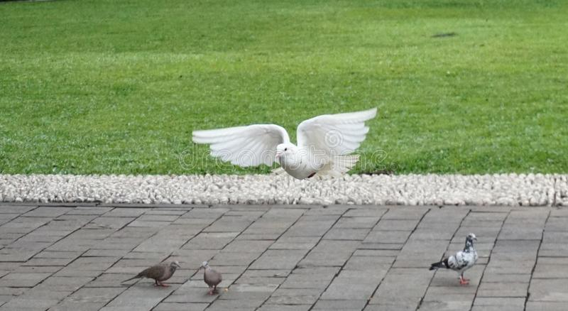 Pájaro blanco en el parque de Suropati, Jakarta imagenes de archivo