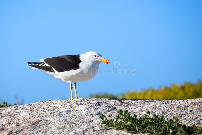 Pájaro blanco y negro de la gaviota con el pico amarillo y rojo en la piedra en cierre brillante del fondo del cielo azul para ar fotos de archivo libres de regalías