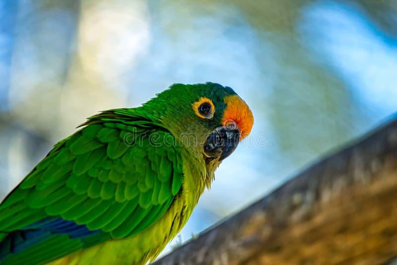 Pájaro brasileño exótico de Periquito-Rei del aurea de Eupsittula del pájaro aka - foto de un aurea aka Periquito-Rei de Eupsittu imagen de archivo
