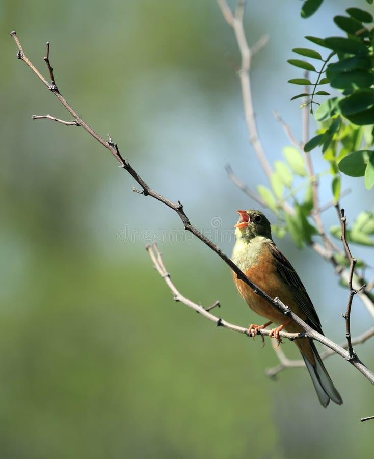 Pájaro cantado fotografía de archivo libre de regalías