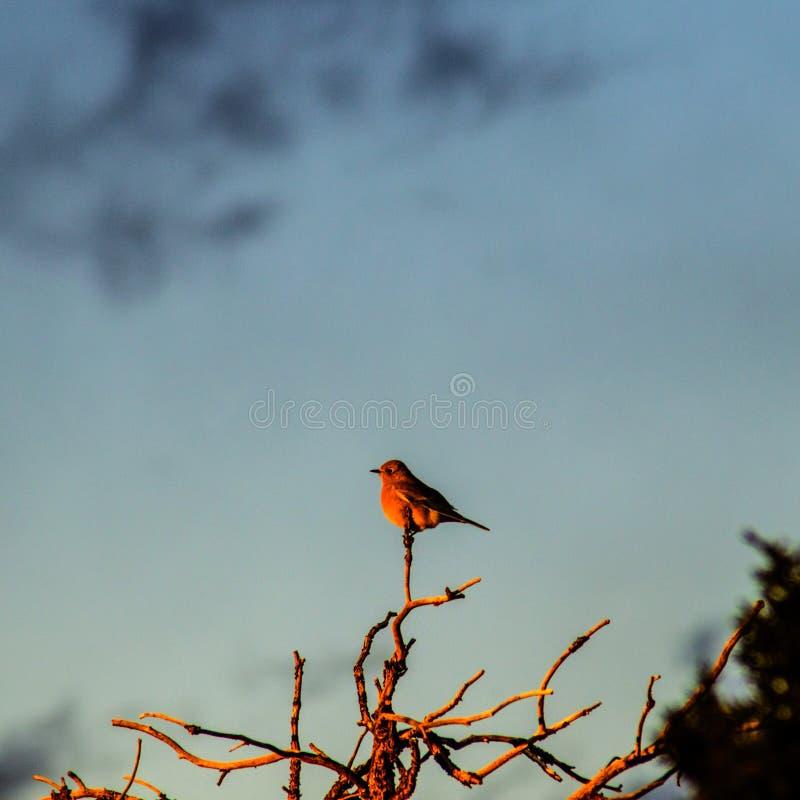 Pájaro cantante encendido en el rojo de la puesta del sol foto de archivo