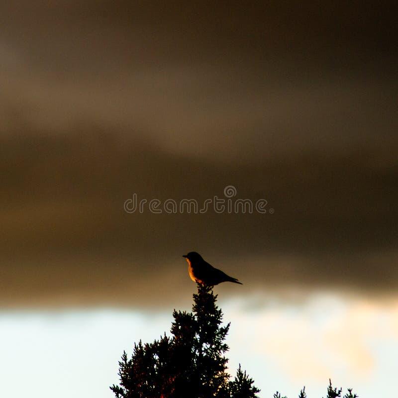 Pájaro cantante que canta en la puesta del sol en un árbol del enebro foto de archivo libre de regalías