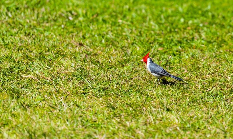 Pájaro cardinal con cresta rojo en el grassin verde Kauai, Hawaii, los E.E.U.U. Con el foco selectivo fotos de archivo