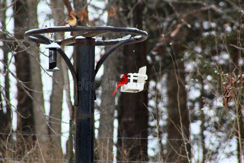 P?jaro cardinal rojo brillante en la nieve en un alimentador del p?jaro imagen de archivo libre de regalías