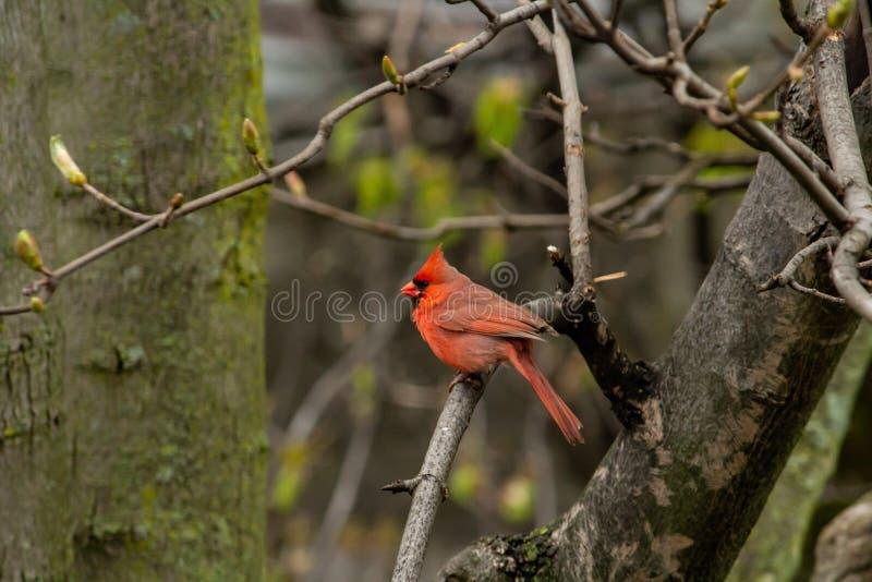 Pájaro cardinal rojo encaramado en una rama de un árbol en un bosque fotografía de archivo libre de regalías