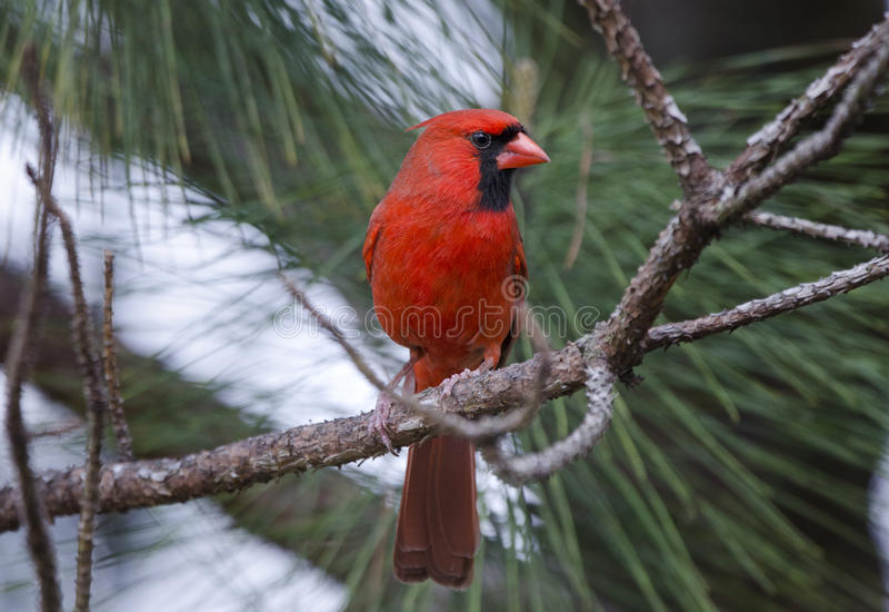 Pájaro cardinal septentrional rojo imagenes de archivo